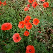 poppies in oxford