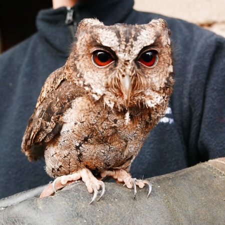 amish the little owl